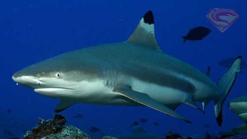 Black tip shark during a Phuket dive tour to Koh Phi Phi